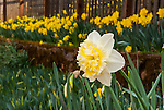 Daffodil flowers, McLaughlin's Daffodil Hill in bloom, Volcano, Calif.