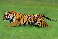 Bengal Tiger (Panthera tigris tigris) running through grass.