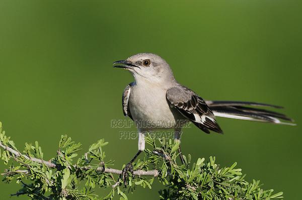 Northern Mockingbird (Mimus polyglottos), adult, Laredo, Webb County, South Texas, USA