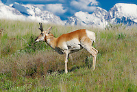 Pronghorn antelope at the National Bison Range in Montana
