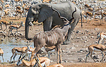 African bush elephants (Loxodonta africana), Etosha National Park, Namibia, Springbok (Antidorcas marsupialis) and greater kudu (Tragelaphus strepsiceros)<br />