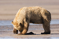 Carol carefully opens a clam she has just dug up. Bears can open clam shells in about a second. Kodiak grizzly bear (Ursus arctos middendorffi), Hallo Bay