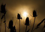 Sunrise through the fog silhouettes the thistles and grasses in a field