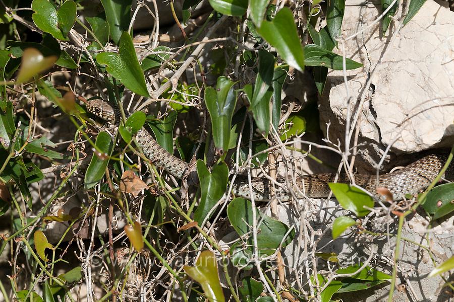 Balkan-Zornnatter, Balkanzornnatter, Zornnatter, Hierophis gemonensis, Coluber gemonensis, Balkan whip snake, couleuvre des Balkans