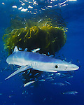 Blue Shark (Prionace glauca) pup with school of Jack Mackerel (Trachurus symmetricus) under drifting Kelp paddy, San Diego, California, USA.