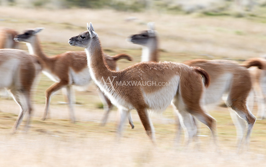 Guanacos are a common sight in southern Chile, often posing before the spectacular mountains.