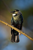 A tui also known as a Parson bird perches on a dew covered branch in the early morning sunshine.