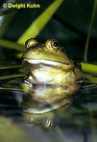 FR01-001a  Bullfrog - adult in pond - Lithobates catesbeiana, formerly Rana catesbeiana