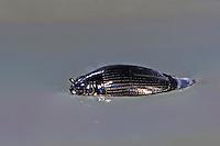 Gemeiner Taumelkäfer, Drehkäfer, Kreiselkäfer, Gyrinus substriatus, Whirligig Beetle, Taumelkäfer, Gyrinidae, whirligig beetles