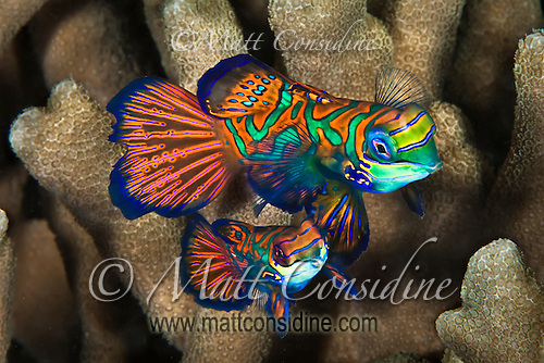 Male and female Manadarin fish move out of the coral ready to start the mating dance. The male is the small one, Palau Micronesia. (Photo by Matt Considine - Images of Asia Collection) (Matt Considine)