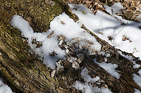 Ruffed grouse (Bonasa umbellus) drumming log with snow on it