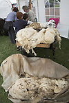 Sheep fleeces on display, Suffolk Smallholders annual show, Stonham Barns, Suffolk, England, July 2008
