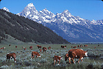 hereford cattle and Grand Tetons