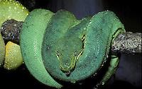 Green Tree Python; Morelia viridis