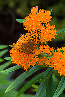 Asclepias butterfly weed with butterfly insect