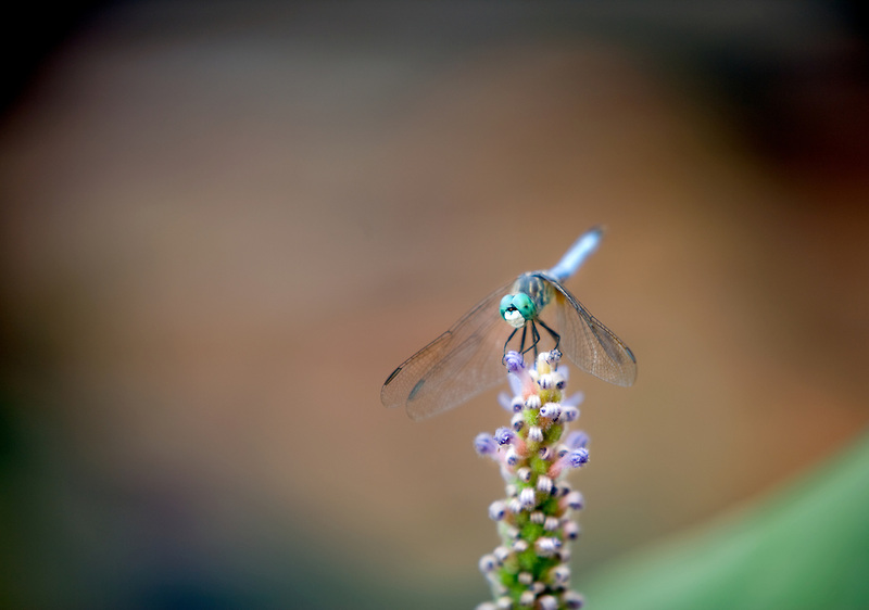 Dragon fly on flower stalk. Huges Water Garden, Oregon