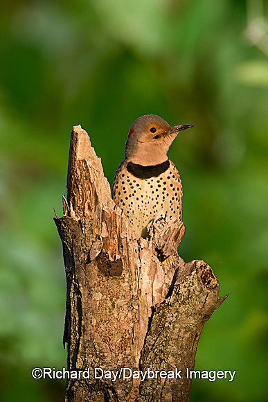 01193-01509 Northern Flicker (Colaptes auratus) male on snag, Marion Co.  IL