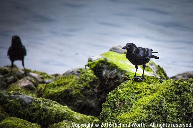 A crow stands guard over its meal of shellfish that's being eyed by another crow among the moss covered rocks along the shoreline at San Leandro Marina Park.