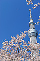 Tokyo Sky Tree in Cherry Blossoms