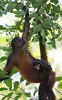 It's common to see monkeys carrying babies through the canopy.
