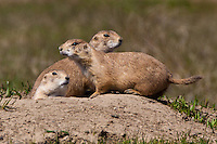 Trio of Black-tailed Prairie Dogs