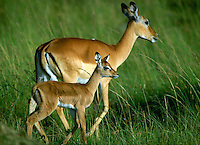 African, wild animal. A female mother impala walks closely guarding her young offspring. Masai Mara, Kenya Masai Mara Plains.