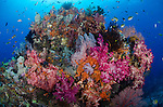 A variety of colourful soft corals, Dendronephthya sp., cover a large coral head with schools of tropical fish swirling above, Misool  region, Raja Ampat, West Papua province, Indonesia, Pacific Ocean