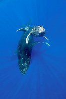 humpback whale, Megaptera novaeangliae ( Endangered Species ), calf rises toward the surface, with mother resting below, and escort resting below mother; Maui, Hawaii ( Central Pacific Ocean ) caption must note picture taken under NMFS permit 587 issued to HWRF