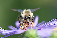 Bumble Bee; Bombus; drinking on nectar; on Aster; PA, Philadelphia