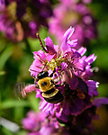 Bumblebee on a Lemon Mint Flower. Image taken with a Fuji X-H1 camera and 80 mm f/2.8 macro lens + 1.4x teleconverter