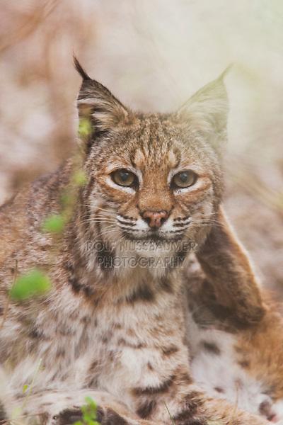 Bobcat (Felis rufus), adult, Sinton, Corpus Christi, Coastal Bend, Texas, USA