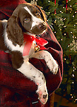 Woolrich puppy and Christmas tree