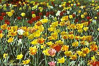 HS08-011a  Tulip garden - Tulipa spp.