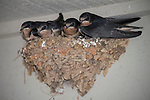 Horseshoe Bay, Texas; four fledgling Barn Swallows (Hirundo rustica) waiting in their mud nest at twilight for their parents to bring them food
