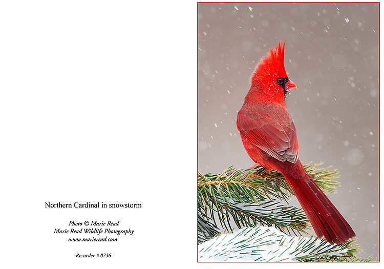 NCardinalSnowstorm0236_Card<br />