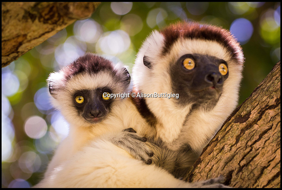 """BNPS.co.uk (01202 558833)<br /> Pic: AlisonButtigieg/BNPS<br /> <br /> ***Pleae Use Full Byline***<br /> <br /> A Verreaux Sifaka, who habitats in Madagascar.<br /> <br /> With video. <br /> <br /> verreaux's sifaka<br /> <br /> This is the hilarious moment a group of lemurs scrambled down a tree and burst into a fantastic dance display.<br /> <br /> The primates had been eating berries from the top of the tall bark when they decided to cross a dirt road to a cluster of other trees.<br /> <br /> As they landed on the ground each one burst into an array of impressive dance moves, including twirls, jumps, spins and stretches.<br /> <br /> They boogied their way across the track without stopping and even performed a few acrobatic stunts.<br /> <br /> The elaborate routine only stopped when they reached another trunk and scrambled up to the top.<br /> <br /> The whole thing was captured on camera by Allison Buttigieg, who was watching the lemurs' antics with her boyfriend, Olli Teirila.<br /> <br /> The couple were enjoying a holiday on the island of Madagascar in the hope of photographing the dancing, made famous by the animated DreamWorks film.<br /> <br /> Allison, 34, from Helsinki in Finland, said: """"Part of the reason I wanted to go to Madagascar is because they have lemurs there that look like they are dancing.<br /> <br /> """"We went to a spot where there were a group of them up in the trees and waited for many hours for them to move.<br /> <br /> """"Normally they jump from tree to tree but they had to cross a dirt road, so we were waiting for them to do that.<br /> <br /> """"Eventually they came down from the trees and started doing their little dance.<br /> <br /> """"They are adapted to the trees and they can't crawl so this is why they do it.<br /> <br /> """"I had seen them doing it on documentaries before and I had always said I wanted to go and see them for myself and take photos.<br /> <br /> """"It was very amusing and looked so funny, taking pictures was hard because """