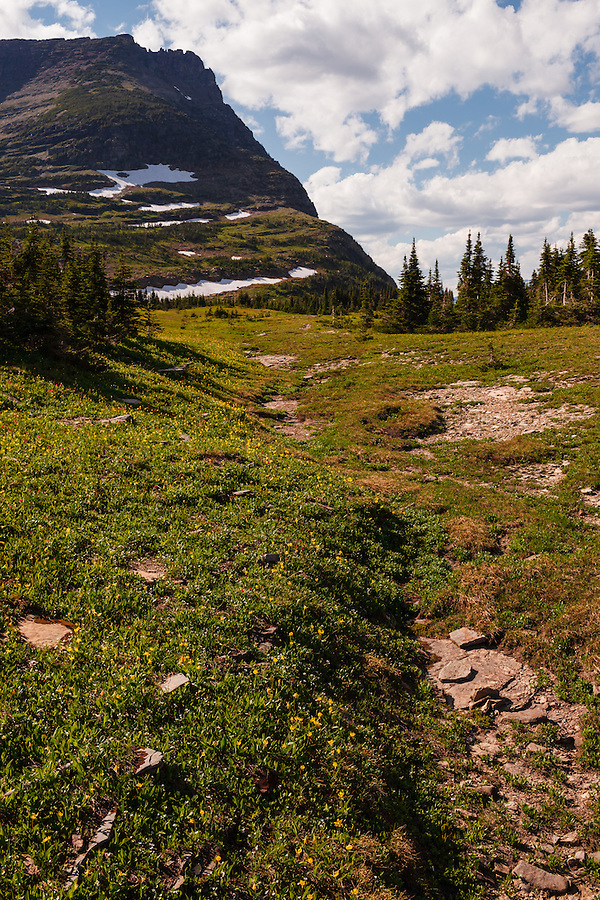 Yellow glacier lilies add a splash of color to the rocky landscape around Logan Pass in Glacier National Park, Montana.