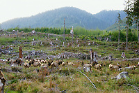 Roosevelt Elk herd in clearcut logged area.  Pacific Northwest.