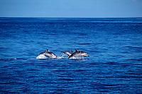 striped dolphins, Stenella coeruleoalba, leaping, Azores Islands, Portugal, North Atlantic Ocean