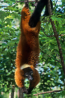 Red ruffed lemur (Varecia  variegata), Endangered Species. (C.A.)