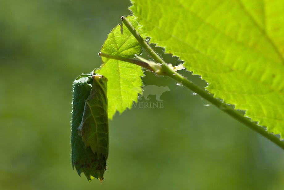 Eikenbladroller (Attelabus nitens)
