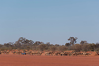 Wild Camels in the Australian desert being mustered by motor bike and 4wd, aerial,  Central Australia, Northern Territory, Australia.