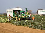 A team of field workers for Staples company harvesting vegetables at Iken, Suffolk, England