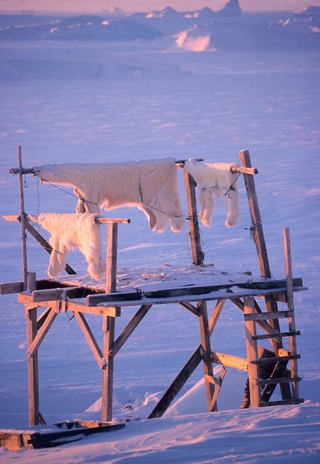 Polar bear skins hanging on an Inuit hunter's meat rack. Savissivik, N.W. Greenland.