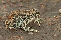 Wechselkröte, Wechsel-Kröte, Grüne Kröte, Bufotes viridis, Bufo viridis, green toad