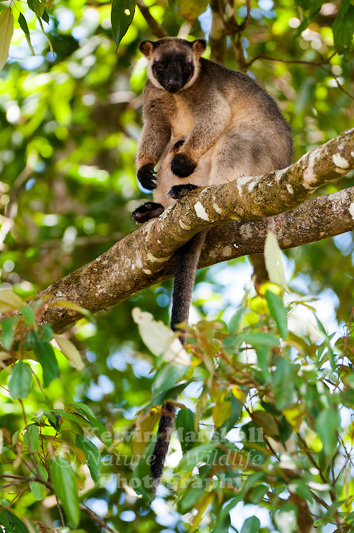 Lumholtz's tree-kangaroo (Dendrolagus lumholtzi) is a heavy-bodied tree-kangaroo found in rain forests of the Atherton Tableland Region of Queensland. Its status is classified as least concern by the IUCN, although local authorities classify it as rare. It is named after the Norwegian explorer Carl Sofus Lumholtz. Nerada Tea Plantation, Atherton Tablelands - Far - North Queensland, Australia.