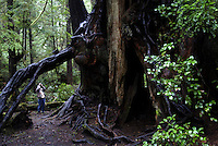 Big Cedar Tree near Kalaloch, Olympic National Park, Washington, US