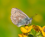 Common Blue, Polyommatus icarus, resting on Birds Foot Trefoil flower.United Kingdom....