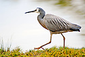 White-faced Heron (Ardea novaehollandiae), Wyong River, Central Coast, New South Wales