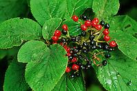 Wolliger Schneeball, Früchte, Viburnum lantana, Wayfaring Tree